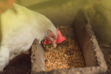 Chickens eating food in farm. Hens feeding with corns in the hen house. Farm business with group of chicken.