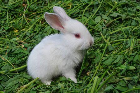 ute white rabbit in grass. Rabbit in spring green grass background. Cute little Easter bunny 版權商用圖片
