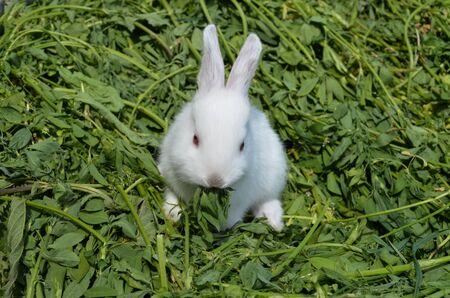 ute white rabbit in grass. Rabbit in spring green grass background