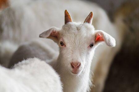 Cabras blancas en el establo. Cabras domésticas en la finca. Cabritos blancos preciosos. Cabritos de pie en refugio de madera
