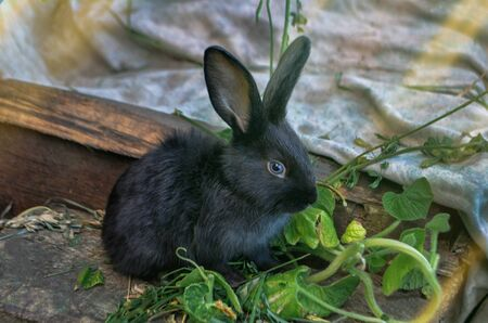 Young cute bunny with fluffy hair. Black little rabbit