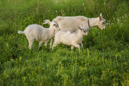 Group of goats with baby goats. Local family goats in the yard village house. Goats standing among green grass. Sunny spring day. Goat and goat kid