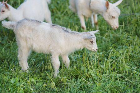 Pie de cabrito de las cabras del bebé en la hierba del verano. Cabrito pasta en un prado. Cabritos jugando juntos. Una cabra comiendo una flor. Foto de archivo