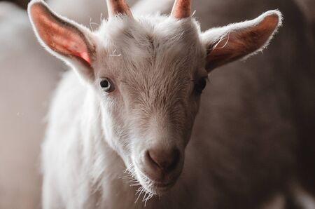 Cabras domésticas en la finca. Cabrito en el establo de pie en refugio de madera