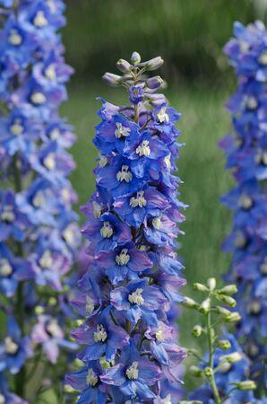 Delphinium Magic Fountain in the garden. Double blue flower delphinium collection Stock Photo