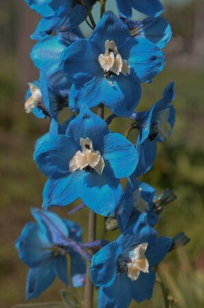 Delphinium flowers blooming. Blue flower of Delphinium in a summer garden Stock Photo