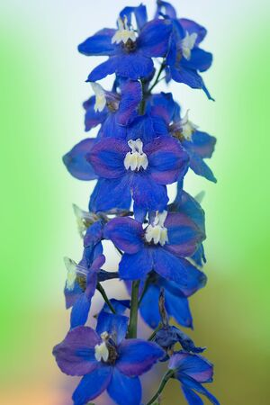 Delphinium blue grows in the garden. Double delphinium blue flower. Blue delphiniums Lincolnshire