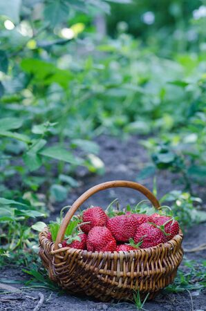 Harvesting strawberries. Basket full of strawberries near strawberry plants