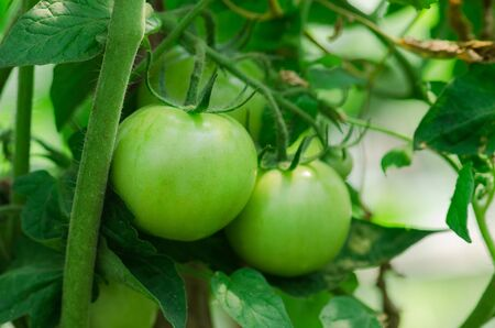 Field with green tomatoes. Bio garden with tomatoes plants. Unripe organic tomato plant.