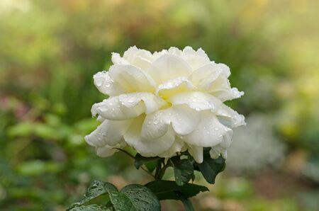 White roses in full bloom. White rose bush in summer morning garden. Hybrid tea rose. Stok Fotoğraf