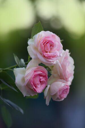 White roses Eden Rose in the summer garden. Buds of white roses blossoming on a bush Stok Fotoğraf
