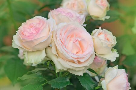 Beautiful pink rose in a garden. Blooming  flowers on the bush in flowers garden.