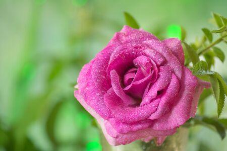 Blooming lavender roses in a vase. Beautiful purple fresh flowers macro.
