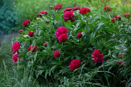 Beautiful red fragrant peonies flowers. Bouquet of burgundy  peonies flower. Beautiful burgundy peony.