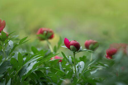 Red peonies in the garden. Red peony macro photo. Burgundy peony flower
