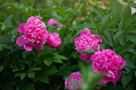 Beautiful pink peony close up. Blooming pink peony flower. Pink flowers peonies flowering. Peonies summer blossom. Zdjęcie Seryjne - 150474423