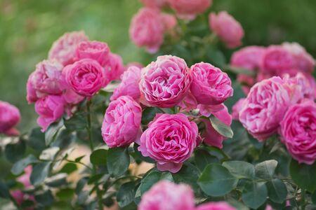 Many beautiful rose flowers.  Pink rose flowers on the rose bush in the garden. Beautiful pink roses in a garden Stok Fotoğraf