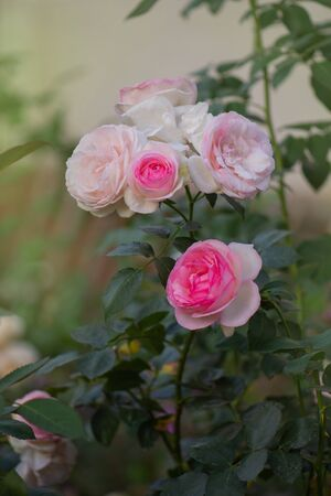 Beautiful pink rose in a garden. Blooming summer decorative flower.