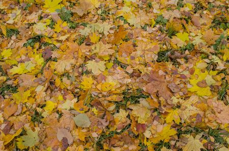 Yellow maple leaves background. Autumn leaves texture. Autumn fall colorful background