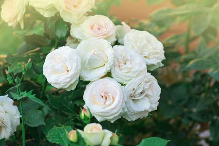 Pink and white roses Eden roze bloom in a tropical garden.