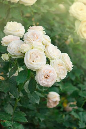 Buds of white and pink roses blossoming on a bush. Bush of white and pink roses Eden Rose.
