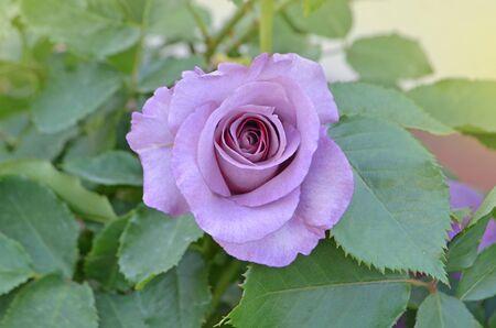 Purple lavender roses flowers plant growing in garden. Mamy Blue blooming flowers.