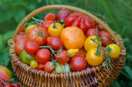 Tomatoes in a basket on nature blurry bokeh background. Fresh tomatoes in a basket on blurry empty background. Selective focus.