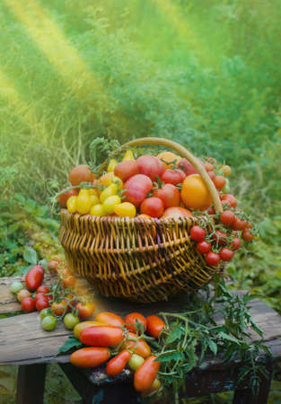 Tomatoes in a basket on abstract blurry bokeh background. Copy space for your text Archivio Fotografico