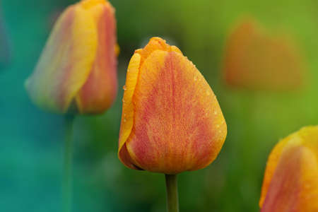 Bright stripes on petal. Spring garden with striped tulips Oxford Elite. Beautiful spring nature. Beautiful flower growing