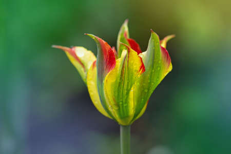 Beautiful orange and green flower tulip Green River growing Banque d'images