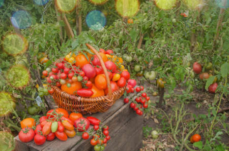 Ripe organic garden tomatoes ready for picking in field on a sunny day. Harvesting fresh organic tomatoes in garden.