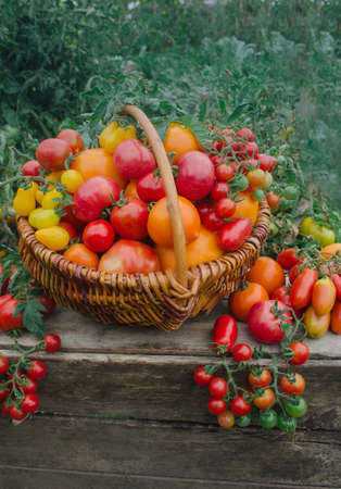 Tomatoes in a basket. Basket full of tomatoes  near tomatoes  plants. Basket of freshly picked tomatoes. Red tomatoes in a basket.