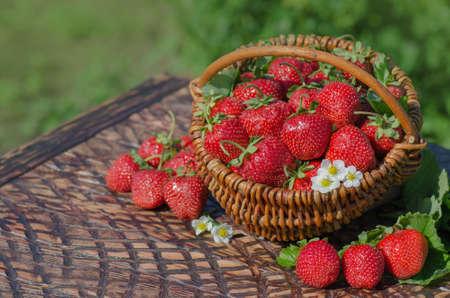 Basket of freshly harvested strawberries in berry garden. Freshly picked strawberries. Picking ripe organic strawberries in a wooden basket in the garden