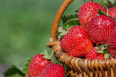 Strawberries in a basket. Harvesting strawberries. A basket full of strawberries near strawberry plants. Stockfoto