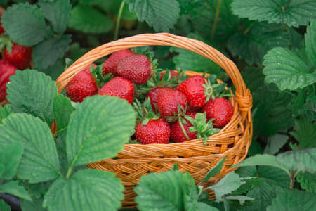 Harvesting strawberries in basket. Fragrant strawberry outdoor. Various juicy strawberries with leaves.