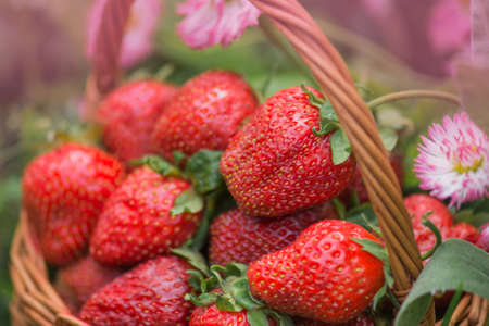 Strawberries in a basket on the field on eco friendly organic farm. Harvesting strawberries in basket.