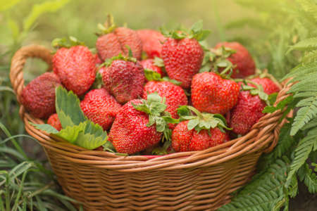 Harvesting strawberries in basket. At one with nature. Various juicy strawberries with leaves. Stockfoto