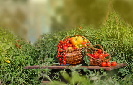 Tomatoes of different shapes and colors in a wicker baskets on eco nature green defocused background.