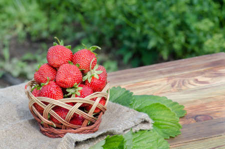 Harvesting fresh red strawberries in garden on a sunny day. Gardening at countryside. Basket of freshly harvested strawberries in berry garden