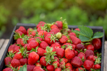 Full fresh strawberry basket. Fields outdoor plantation with strawberries ready for harvest. Lots of fresh strawberries. Perfect weather for harvesting strawberries