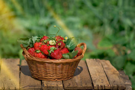 Harvesting fresh red strawberries in garden on wooden table. Gardening at countryside.