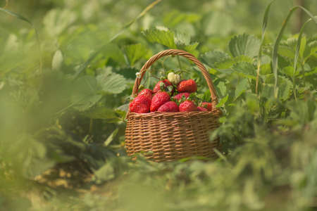 Strawberries in a basket on the field on eco friendly organic farm. At one with nature Stockfoto