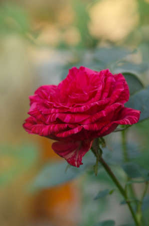 Colorful bush of striped roses in the garden. Red roses with white stripes Red Intuition