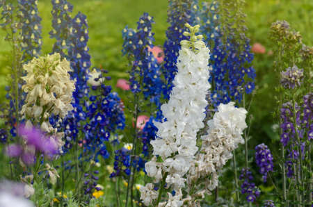Delphinium flower blooming. Candle Delphinium flowers blooming in the garden