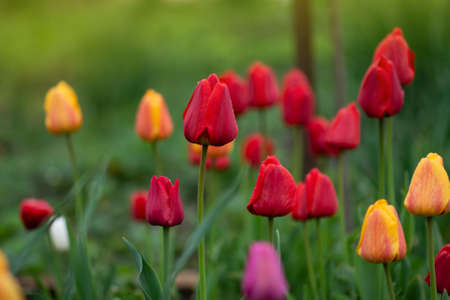Mix of spring tulips flowers. Mixed color tulips in garden. Landscape with  tulip field. Multicolored tulip field at sunny spring day