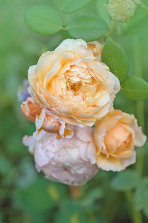 Orange roses in the garden. Orange english rose. Orange rose blooming close up