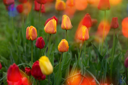 Landscape with  tulip field. Tulip field in spring. Mix color tulip flower. Mix of tulips flowers in garden