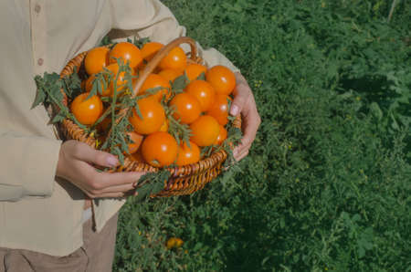 Tomato growers working with harvest in greenhouse. Woman's hands are holding yellow  tomatoes. At one with nature