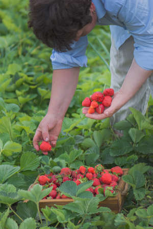 Strawberry growers working with harvest in greenhouse. Female hands holding fresh strawberries.