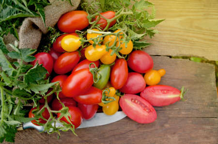 Healthy organic tomatoes on a wooden background. Assorted tomatoes on rustic wooden background. Red tomato on the table